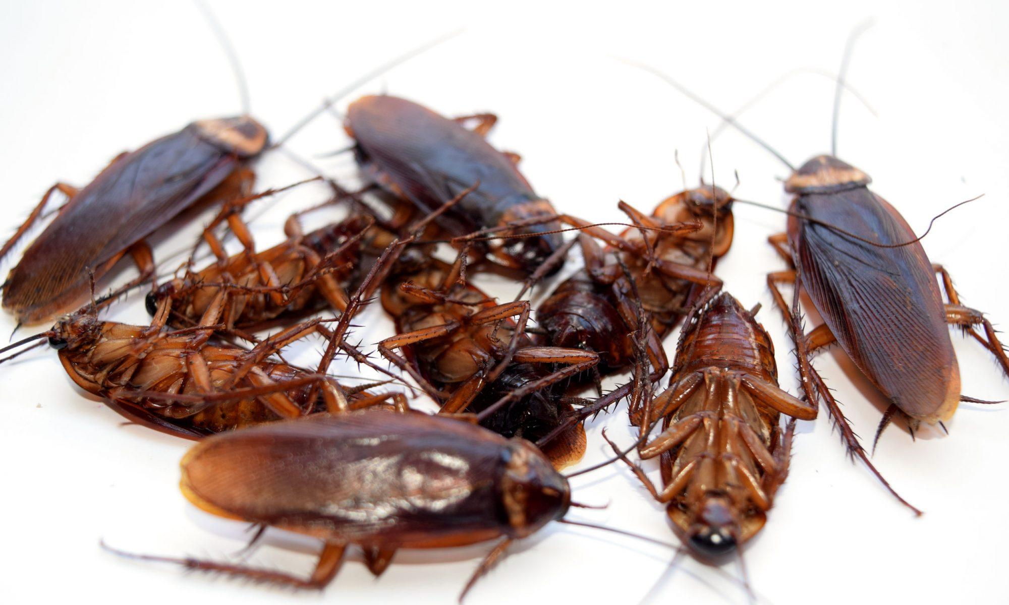 kakkerlak bestrijding